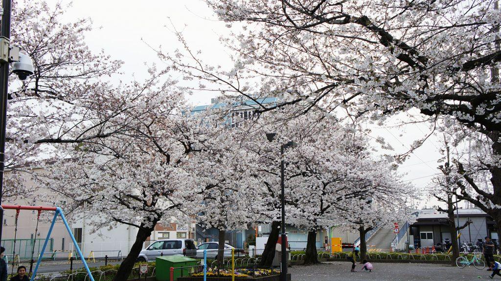 宮前児童公園桜