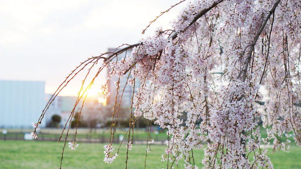 夕日と枝垂れ桜